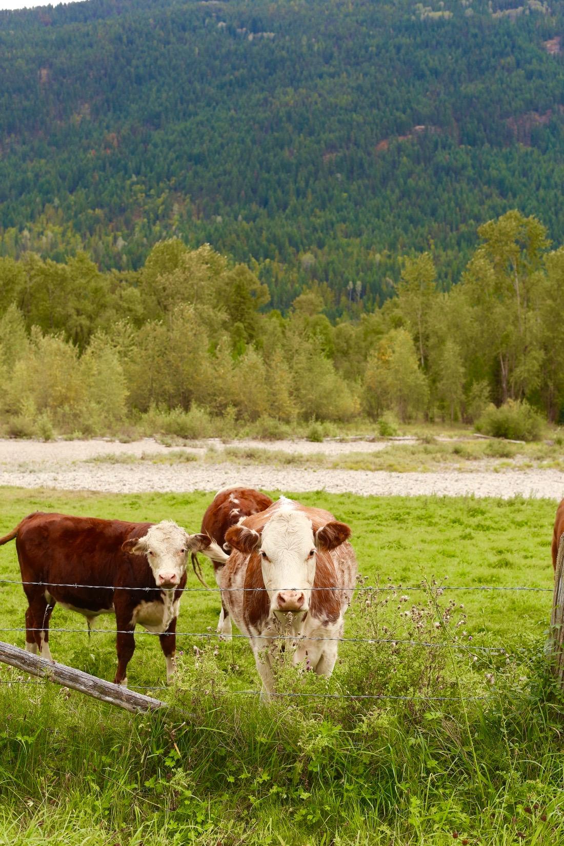 west kooenays cow