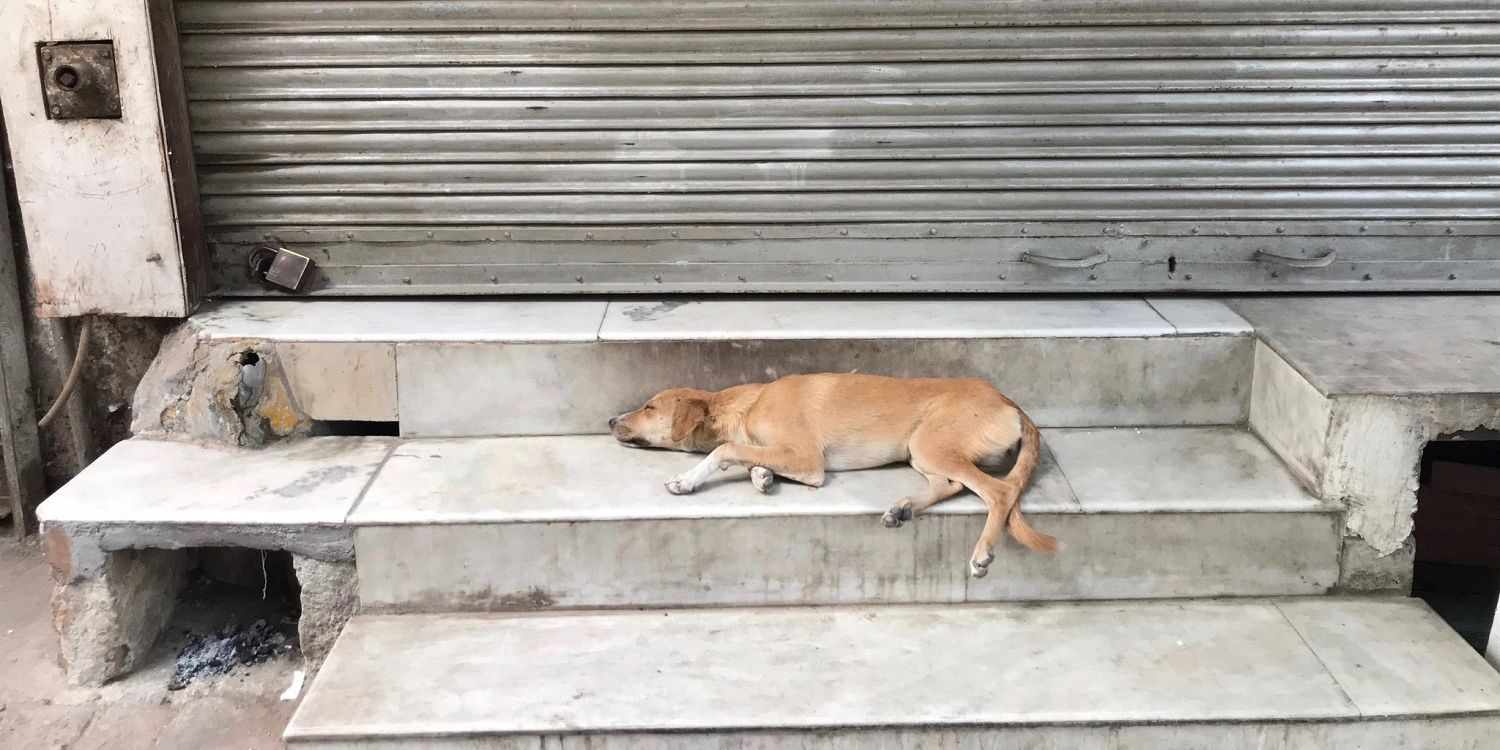 Tips on Rescuing Indian and Mexican Street Dogs | To Die For