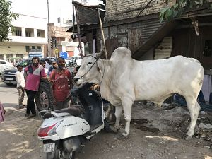 Delhi India Sacred Cow