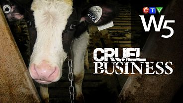 Cruel Business Canada Veal Industry